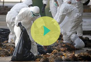 Flu Burung: Melapor Unggas Mati