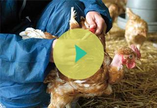 Flu Burung: Anak dan Unggas
